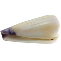 A Pair of Exotic Shells same family one brown / cream and the other white / blue
