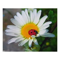 Daisy with Lady Beetle - Paint by Numbers Canvas Art Work DIY 40cm x 50cm